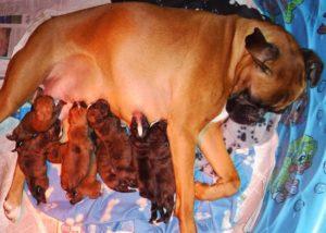 Tanoak Boxers | Breeder of Boxer Dogs | Ontario